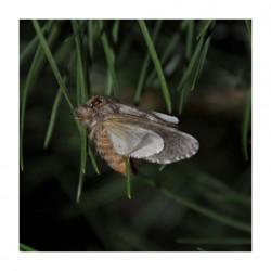 phéromone - processionnaire du pin